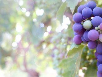 今日のラッキーアイテム「葡萄」
