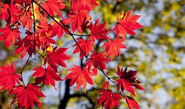 今日のラッキーアイテム「紅葉」